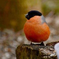 крепыш :: linnud