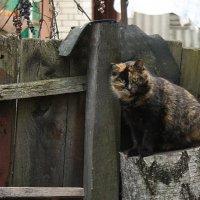 Дворовая кошка :: shabof