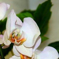 Мои орхидеи. :: Валентина Домашкина
