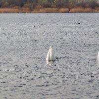 Лебединая рыбалка :: Анатолий Клепешнёв