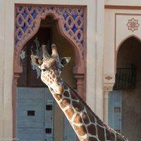 Жираф :: Любовь Бутакова