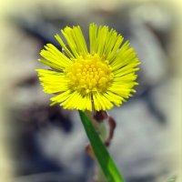 Солнечный цветок весны :: Андрей Заломленков