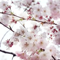 Сакура цветет :: Наталья