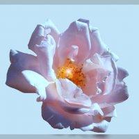 Утренняя роза по фото Виктора Елисеева :: Владимир Хатмулин