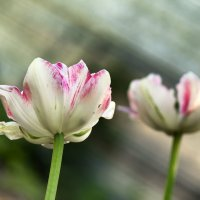 Весна... :: Мария Курицына