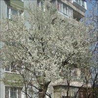 Цветущая алыча под моим окном :: Нина Корешкова
