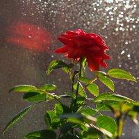 """Весна... и даже """"старенькая"""" роза... :: Александр Попов"""