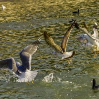 чайки атакуют :: Олег Мартоник