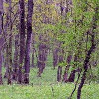 Весенний лес :: Nina Streapan