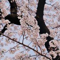 Сакура-национальный символ Японии :: Swetlana V