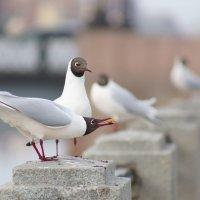 Чайки на гранитном ограждении реки, одна принесла еду для другой, в отдалении видны другие птицы и м :: Елена Мордасова