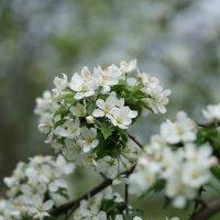 Цветение яблони :: Balakhnina Irina