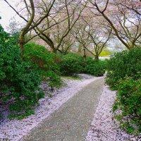 Апрельский снег - опавшие лепестки сакуры :: Nina Yudicheva
