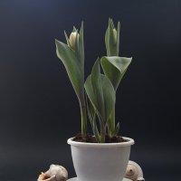 Белые тюльпаны :: Карачкова Татьяна