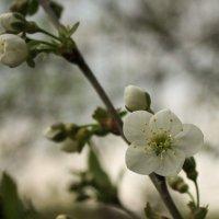 Цветок вишни :: shabof