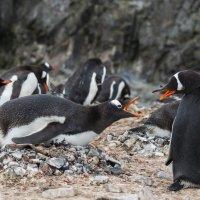 Пингвины :: Alexey alexeyseafarer@gmail.com