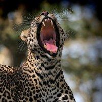 сонный леопард :: Сергей Фомкин