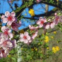 Цветущий персик... :: Лейла Новикова