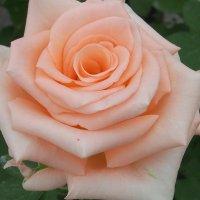 Прекрасная роза :: Swetlana V