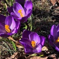 Фиолетовая весна :: Swetlana V