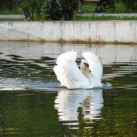 Белый лебедь :: Ирина Телегина