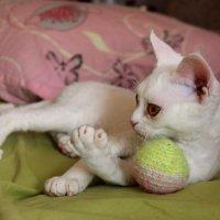 Белый котенок девон-рекс с любимой игрушкой :: Галина Приемышева