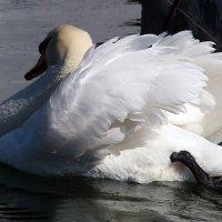 Крыльев белоснежных красота... :: Наталья