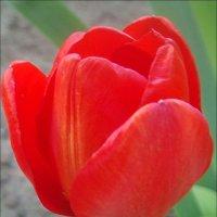 Тюльпан из нашего двора :: Нина Корешкова