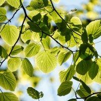 Зелёные листья :: Андрей Майоров