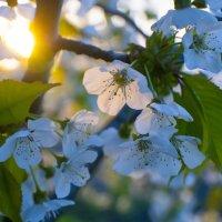 цветы черешни на закате :: Тамара