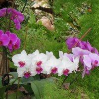 Орхидеи :: Танцюра Татьяна