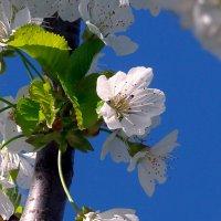 Цветы черешни. :: Наталья