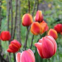 Весна цветёт :: Юрий Гайворонский