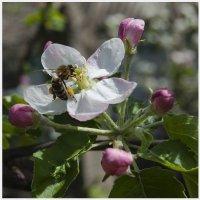майский мед :: Виталий Бидюк