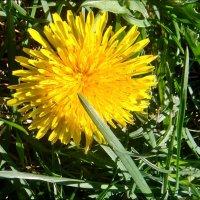 Апрельское солнышко :: Нина Корешкова
