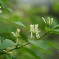 Начало цветения жимолости :: Balakhnina Irina