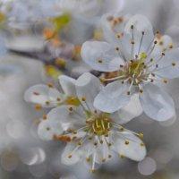 вишневый цвет :: Olena