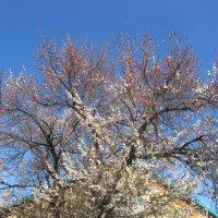 цветёт абрикос 19 апреля :: tgtyjdrf