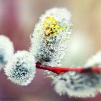 Расцветает краснотал. :: Denis Makarenko
