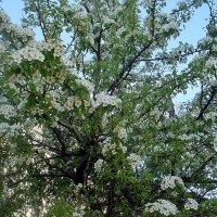 В нашем дворе царствует груша! :: Нина Корешкова