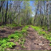 Цветут лесные дорожки :: Андрей Заломленков