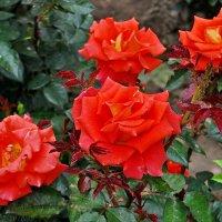 Апрельские розы..... :: Юрий Владимирович