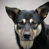 Красивый пес :: Ирина Бруй