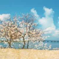 Абрикосовая Весна :: Svetlana Kravchenko