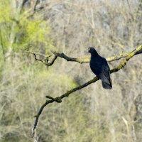 голубь на ветке :: Ирина Сафонова