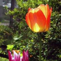 Киевские  тюльпаны Фото №4 :: Владимир Бровко