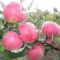 Румяные яблочки. :: Valentina
