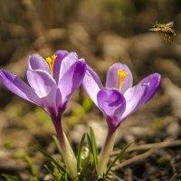 Пчёлка над подснежником :: Алексей Строганов
