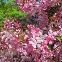 Яблоневый цвет. :: Валентина ツ ღ✿ღ