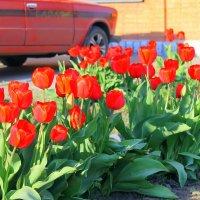 И вот опять цветут тюльпаны ... :: Валентина ツ ღ✿ღ